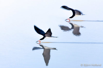 Fine-Art Print Of Black Skimmers